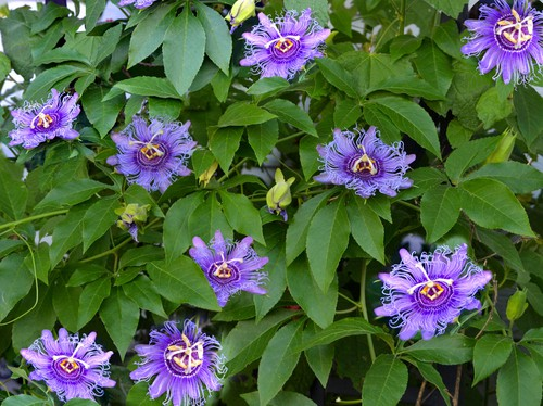 Where to position a passion flowers in containers