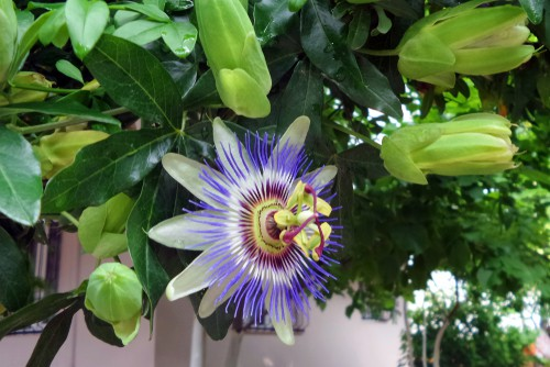 propagating passion flowers from cutting