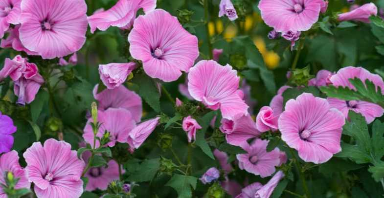 Pruning lavatera – When and how to prune mallow bushes