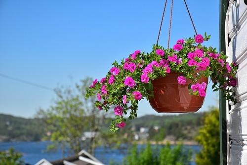 Surfinia hanging basket