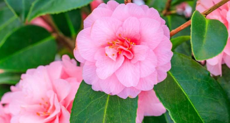 Growing camellias in pots – The complete guide to planting camellias on containers