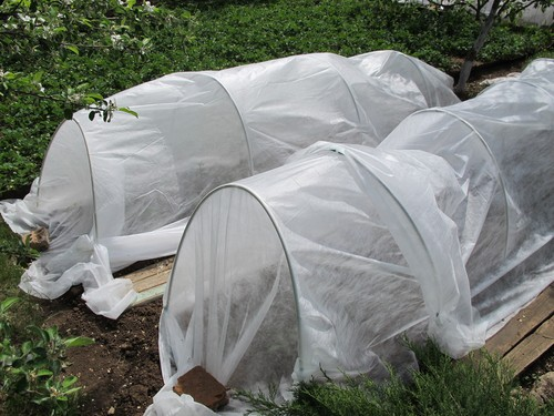 Miniature polytunnels used to protect plants from frost