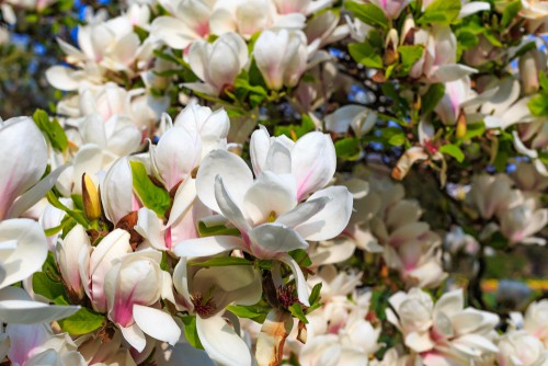 Planting magnolias. Plant in a sunny position in a sheltered position in well-drained soil