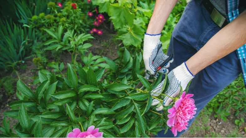 How and when to prune tree peonies