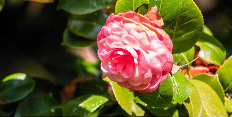 When and what to feed camellias