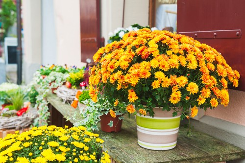 Where to position your potted chrysanthemums. Sunny position where they get at least 5 hours of sunlight