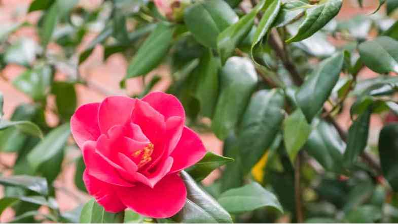 Why is my Camellia not flowering