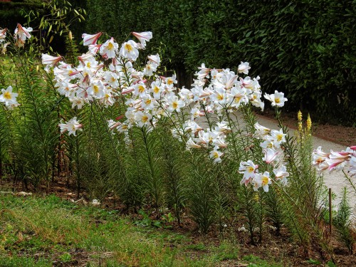 prune lilies in autumn but prune diseases stems straight away.