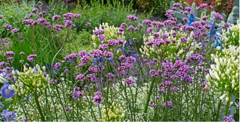 How to grow and care for Verbena bonariensis