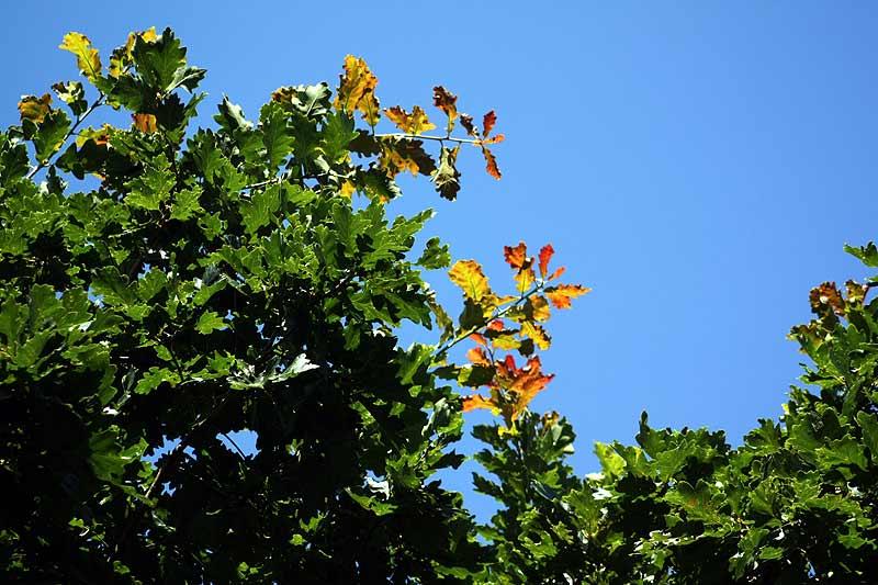 Eiche im August: Bunte Blätter an den Enden der Äste
