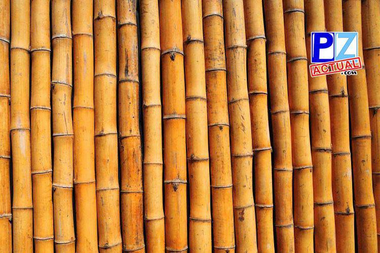 Cinco mil hectáreas de Bambú reactivarían la Región Brunca.