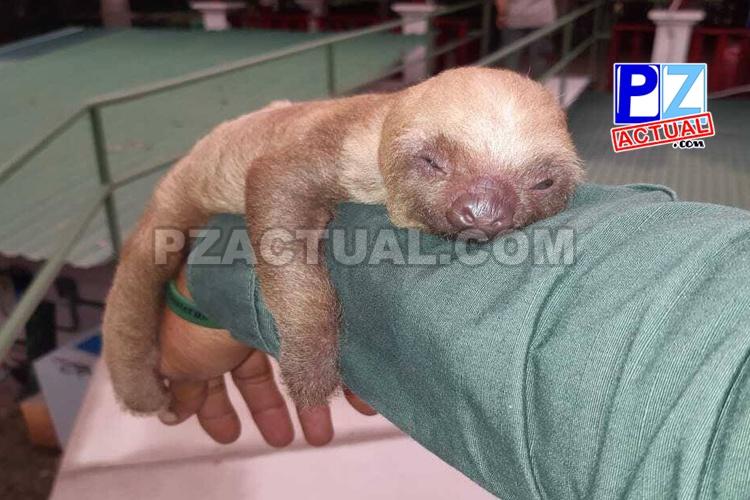 Policía de Fronteras y SINAC rescatan cría de oso perezoso de dos dedos en Osa.