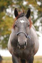 Silesian Horse
