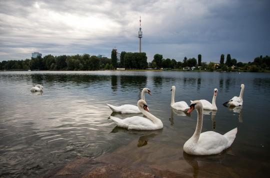 Swans by the Danube