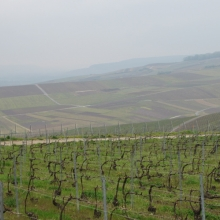 More vineyards at Mutigny