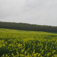 Colza Fields Forever - Outside of Montgueux
