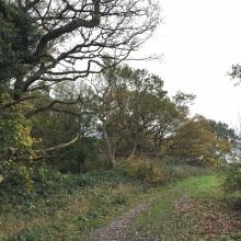 Gnarly branches of coastal oaks