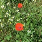 Wildflowers along the Field Borders