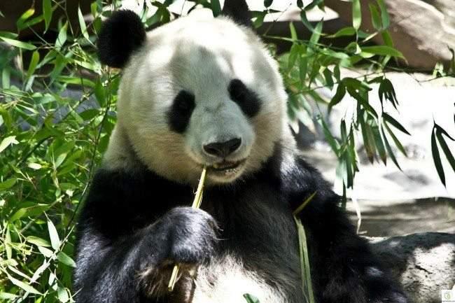 بينها الدب الباندا : حيوانات لطيفة المظهر.. شرسة الجوهر