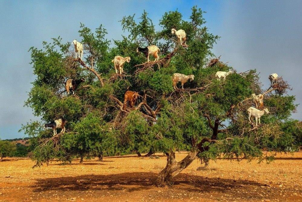 الماعز المتسلق