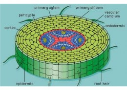 what is the function of phloem?