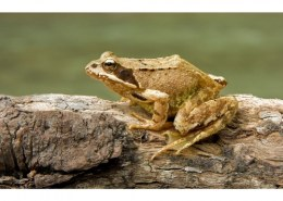 What name is used to refer to a group of frogs?
