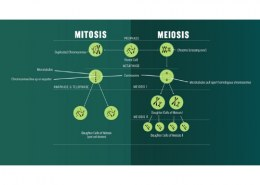 what is the opposite of mitosis
