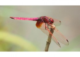 Can dragonflies be used as biocontrol agents for Aedes agypti?