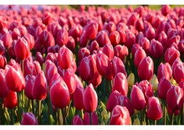 Can I plant tulips in the spring?