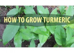 How is turmeric grown commercially?