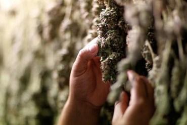 Descriminalización de la Marihuana - Puerto Rico