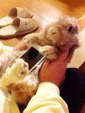 Conejos reales como fundas para teléfonos, la nueva moda en Japón