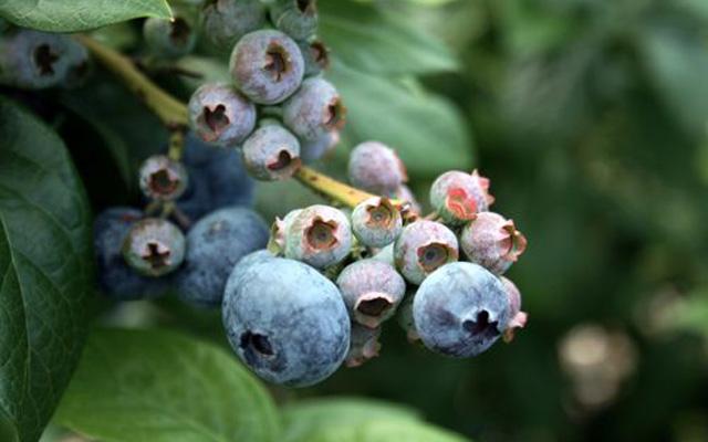 Blueberry Picking Laoshan Qingdao