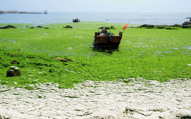Return of the Green Seaweed to Qingdao Image Getty Images