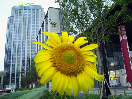 spring sunflower Qingdao