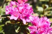Fleurs de Rhododendrons – Jour 2 – Tour du Marguareis – Juin 2016 – Trek, Rando, Italie