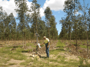 Eucalypt tree plantations thrive from irrigation with recycled wastewater in the Wide Bay region. Photo courtesy Wide Bay Water Corporation.