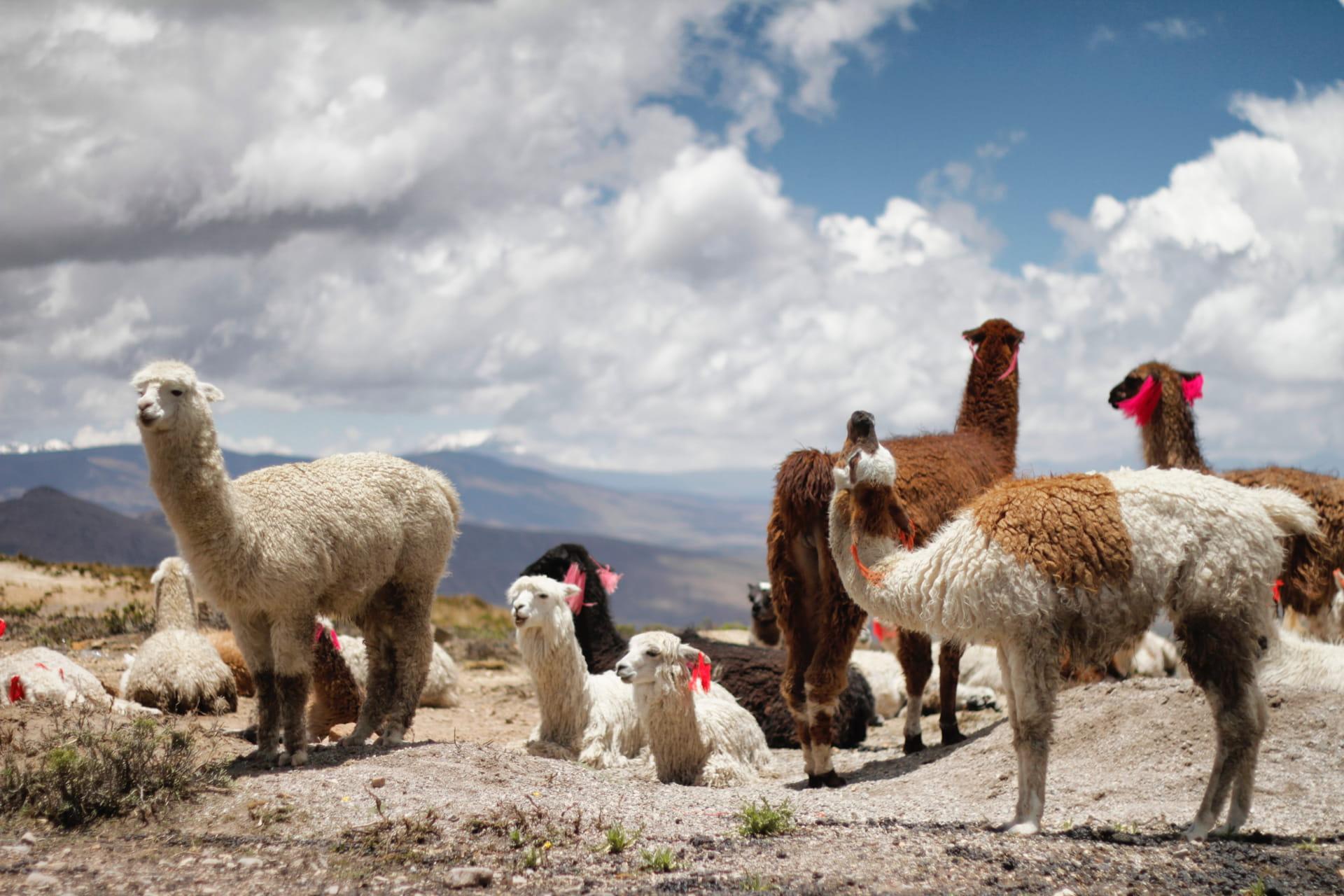 fincas de alpaca Cusco