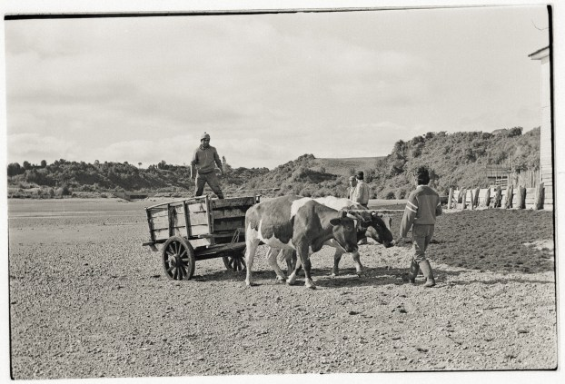 The Seaweed Cart, Manao, Chiloé,1988.