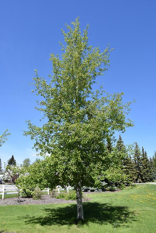 Quaking Aspen Populus Tremuloides In Minneapolis St Paul Twin Cities Metro Eden Prairie