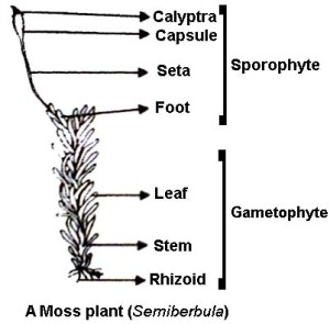 labelled diagram of Sporophyte of Moss  QS Study