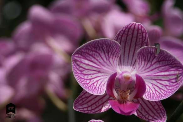 Fleur Tigrée