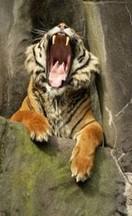 QLTL - Tigre dort