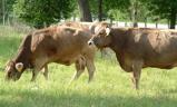 cowsinfield