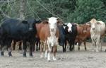 drylandcows