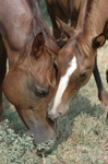 marefoal2