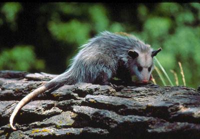 opossum on log web