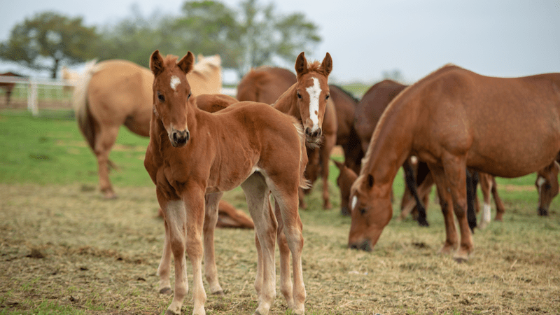 foals standing with mares