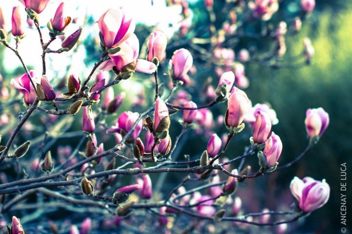 Magnolia soulengiana San José