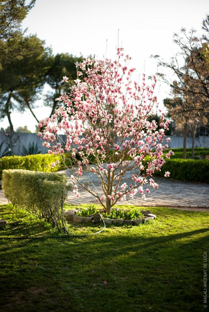 Magnolia Soulengiana